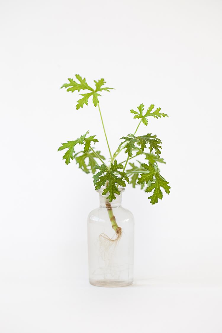 Pelargonium-graveolens-IMG_8764-copy.jpg