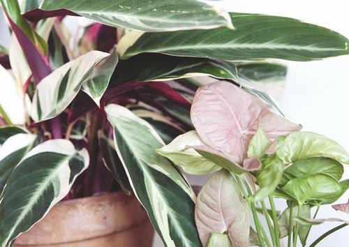 Luchtzuiverende planten: Clusia Princess — Mama Botanica