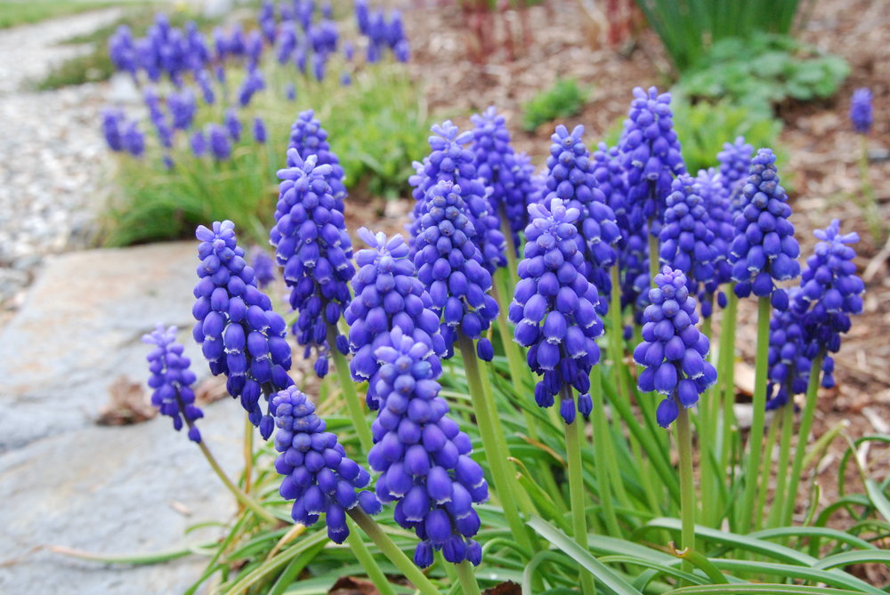 Muscari armeniacum, blue grape hyacinth