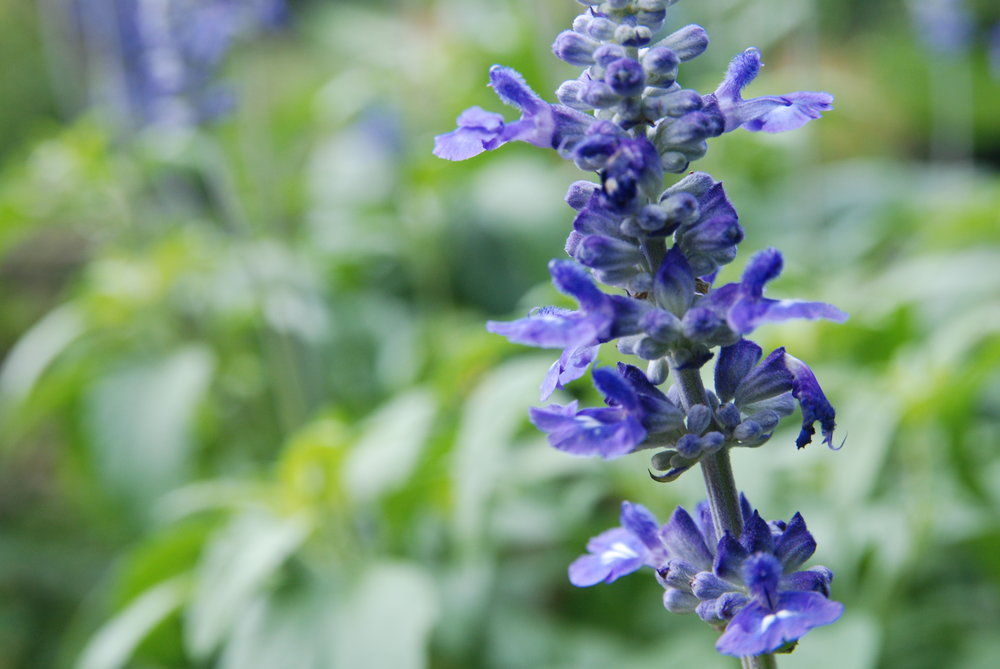 Salvia 'Victoria' in the vegetable garden