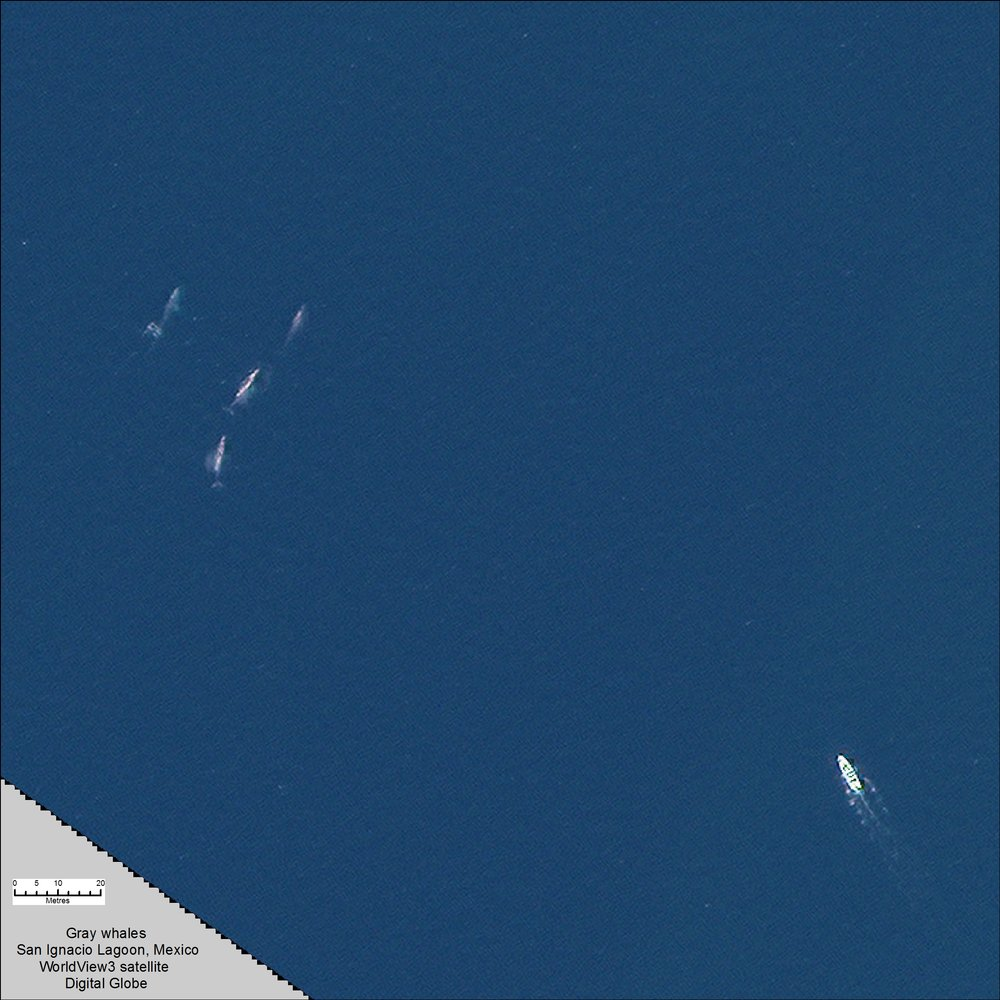 A pod of whales, top left, and a ship, bottom right, are very visible in this high-resolution satellite image of the San Ignacio Lagoon, in Mexico. Source: Digital Globe