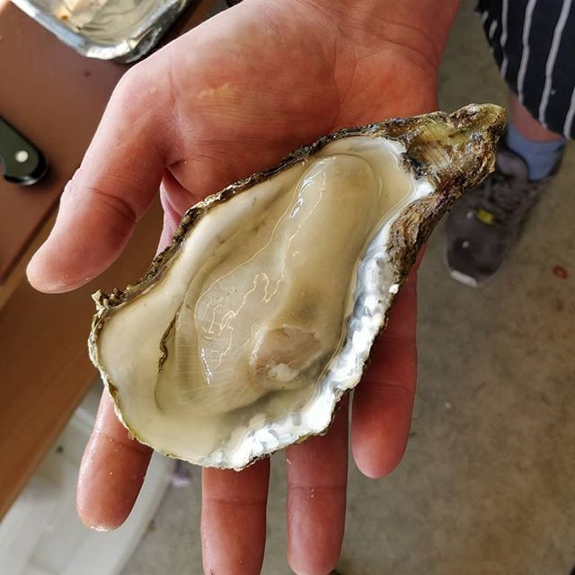 Super Fresh, Super Sized Oyster