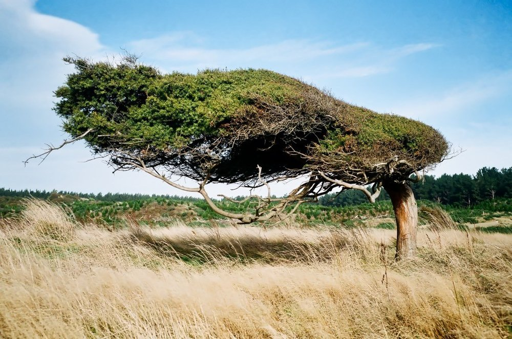 windswept-tree.jpeg