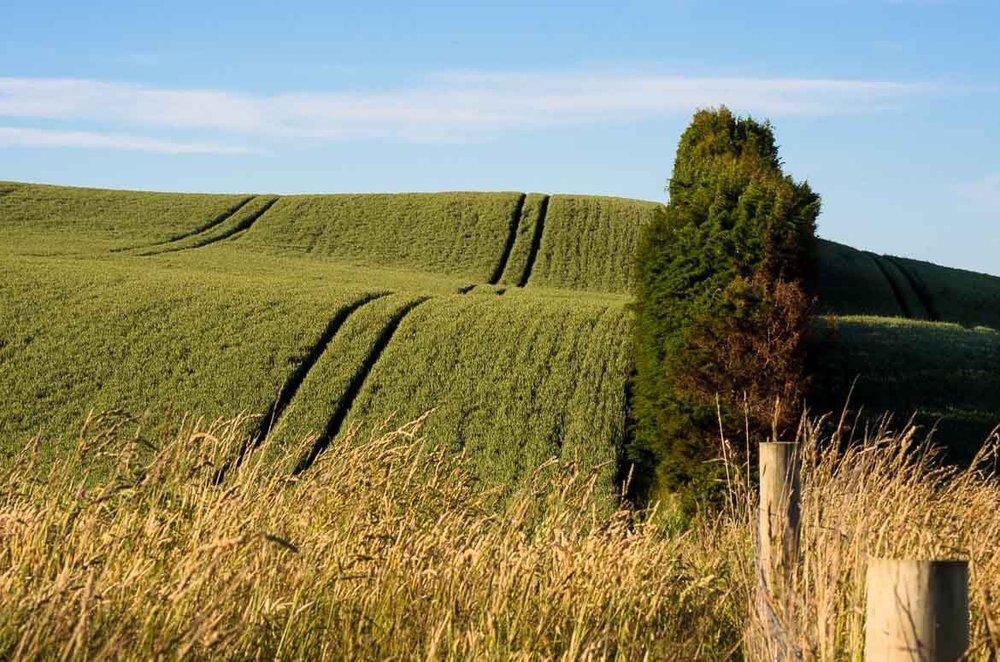 maize-field-beside-state-highway-1-near-Clinton.jpg