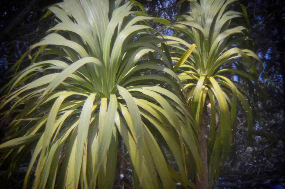 young-cabbage-tree.jpg