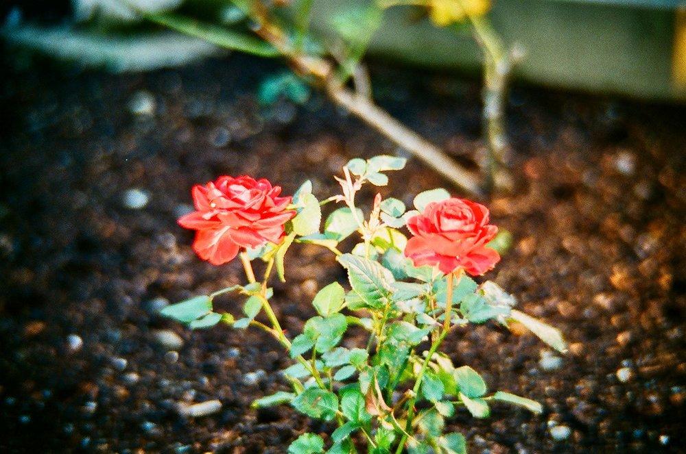 Front garden rose