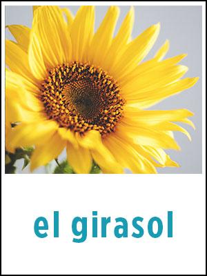 "Sample Flashcard for ""sunflower"" in Spanish"