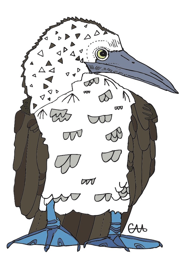 5x7 blue footed booby colour.jpg