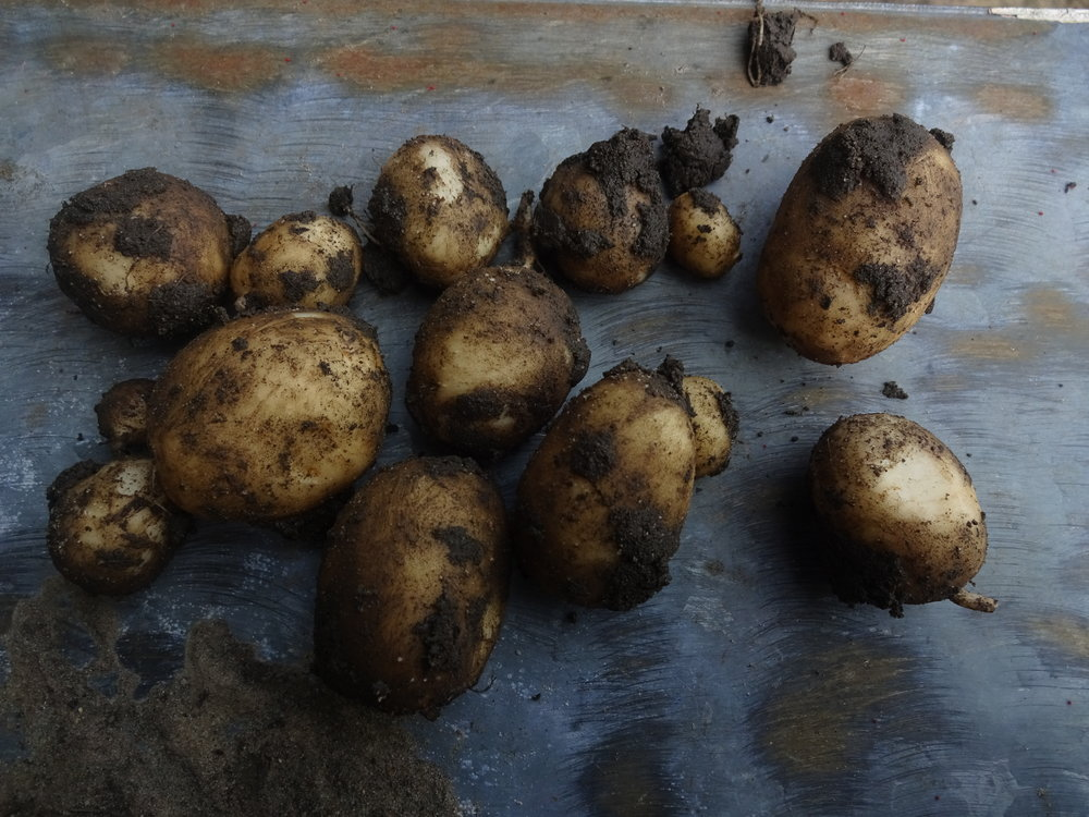 Our first new potatoes