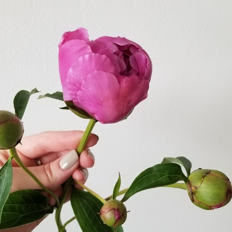 Peony bud in the marshmallow stage
