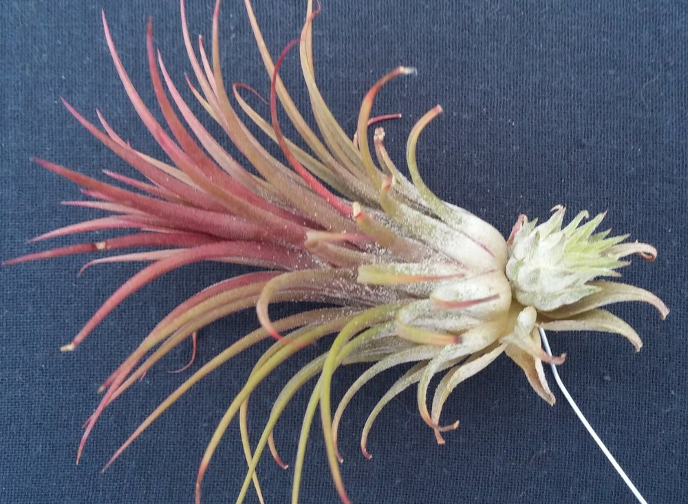 Tillandsia ionantha rubra with an offset produce post-flowering.