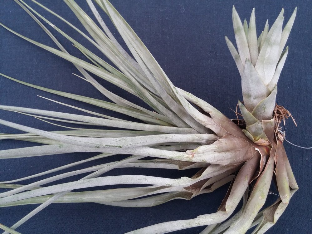 Tillandsia fascicularia , flowered March 2017 offset appeared late summer 2017
