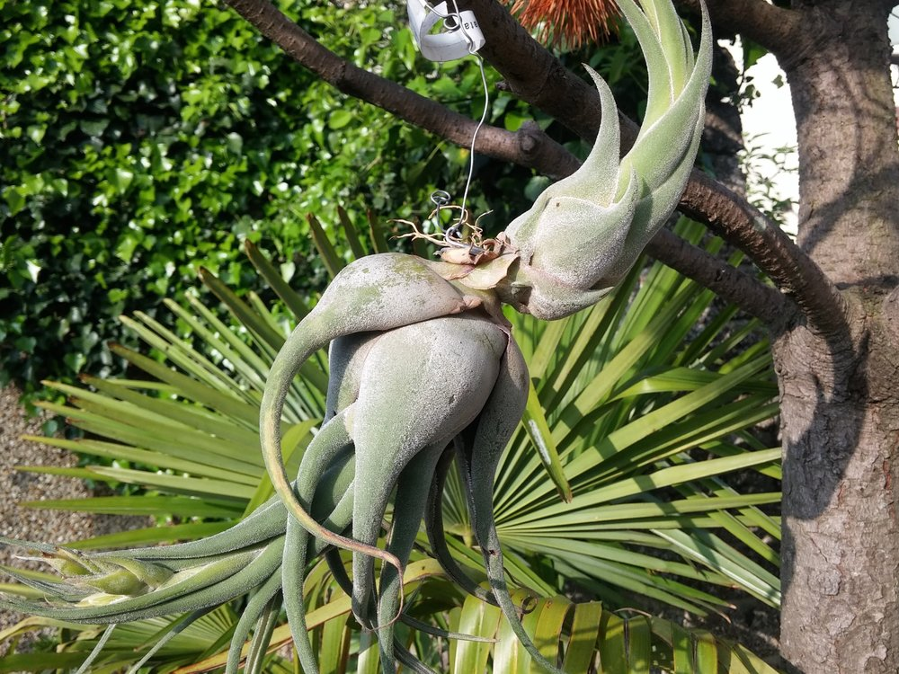 Tillandsia seleriana outside in my garden. This plant flowered last year and produced the offset (right) early this year.