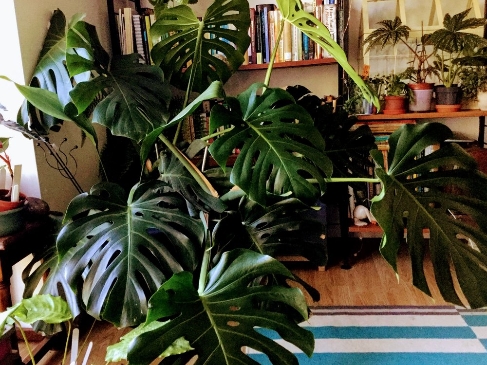 This  Monstera  has just been moved, you can see the leaves are not facing the light. Over the next few weeks they will re-position themselves if they can.