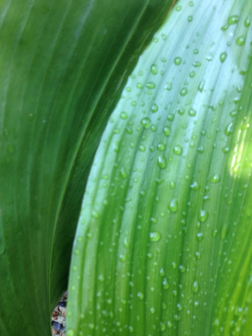 The aspidistra is renowned for surviving poor conditions: low light, cold drafts, air pollution, coffee dregs.