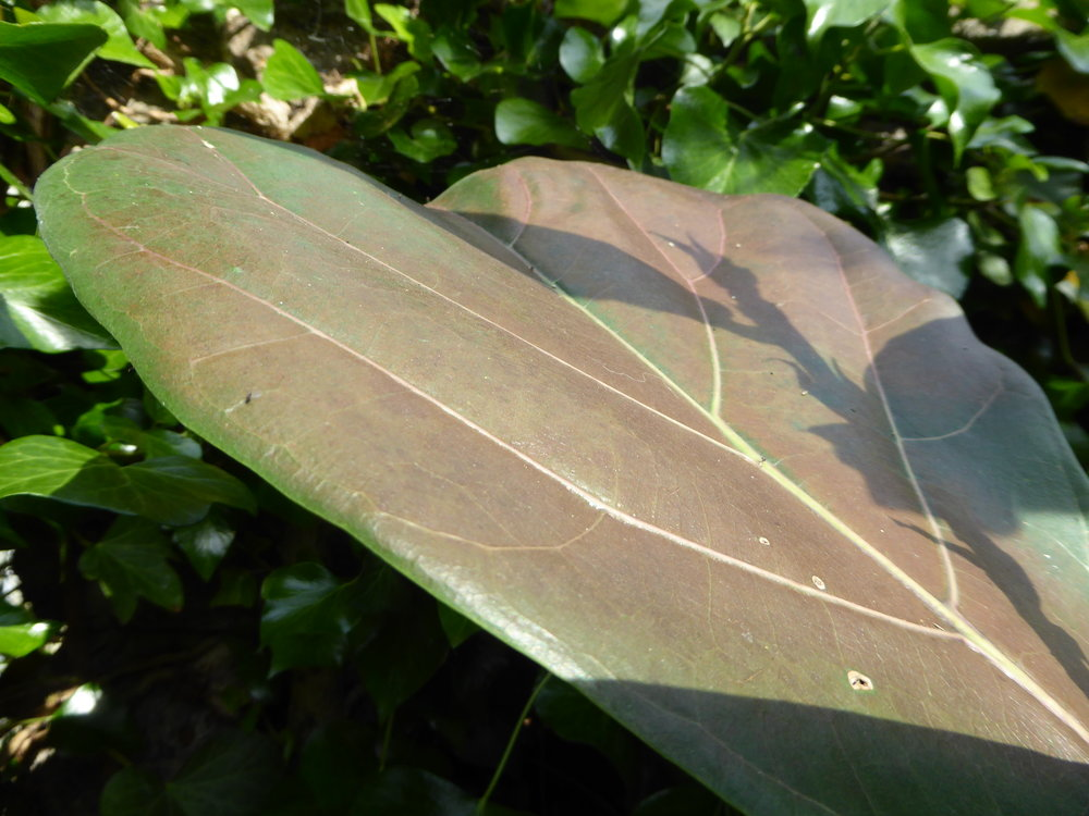 This  Ficus lyrata  leaf was a lovely green before someone put it in direct sun, without allowing it to acclimatise.