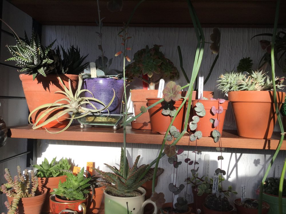 South west facing shelves (stand with your back to the shelf, facing the light) with cacti, succulents and silvery leaved airplants. The shelves mean I can cram this porch space (about 1.5m x 1.5m with two doors) with plants. Not heated, no curtains, clear glass.
