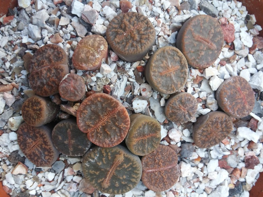 The leaves of Lithops that you see here are only a little bit above the soil. The rest is below, to keep cool and prevent water evaporating during the heat of the day.