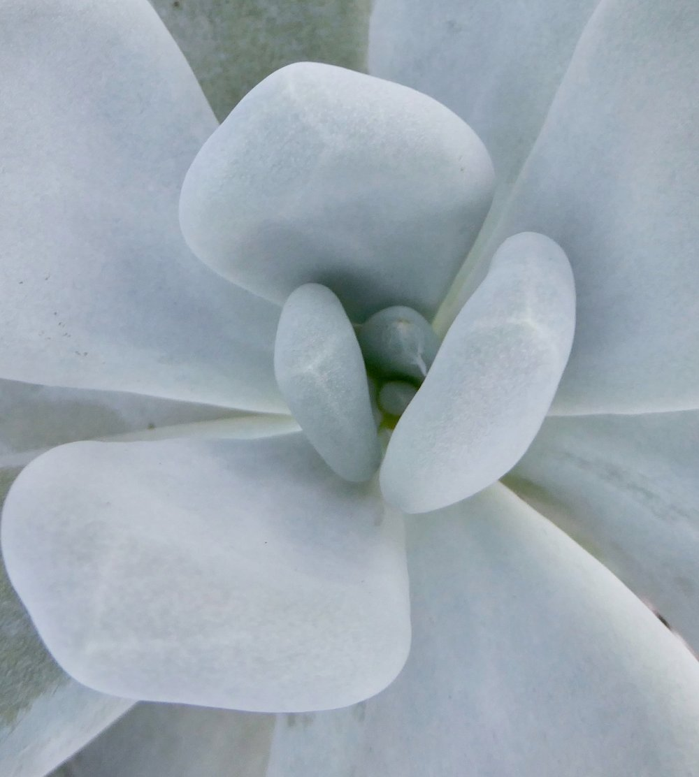 This Pachyphytum is both succulent and grey in colouring, so will be great for sun-traps.