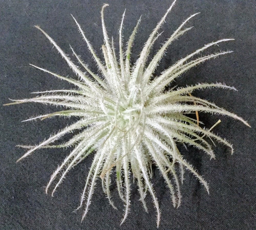Tillandsia tectorum  very silvery, needs sun and minimal water and food. Grows very slowly, but is gorgeous.