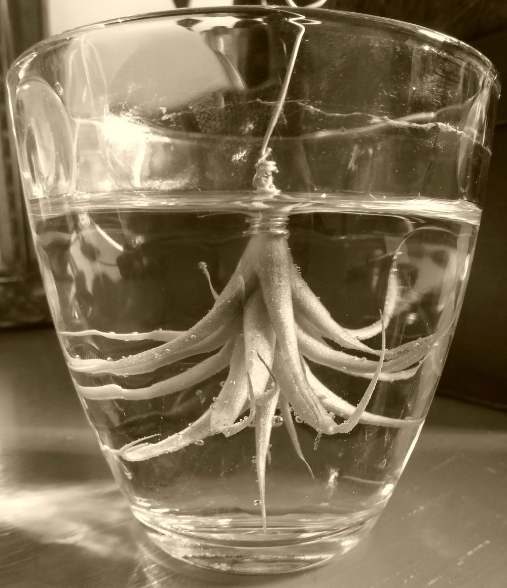 A small  Tillandsia  having a soak in a glass. No, it isn't gin.