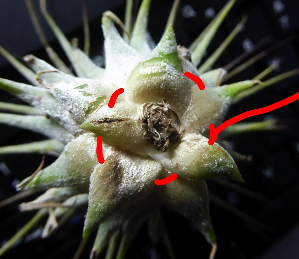 Tillandsia ionantha showing the basal leaves under which thread or wire can be passed to suspend the plant.