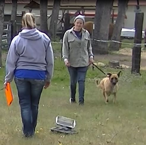 Item 9: Reaction to Distraction - This test demonstrates that the dog is alwasy confident when faced with common distracting situations. The evaluator will select and present two distractions. Examples of distractions include dropping a chair, rolling a crate dolly past the dog, having a jogger run in front of the dog, or dropping a crutch or cane. The dog may express natural interest and curiosity and/or may appear slightly startled but should not panic, try to run away, show aggressiveness, or bark.