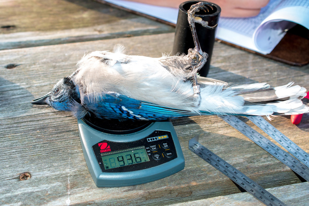 Blue Jay being weighed.jpg