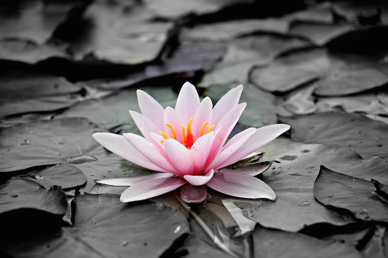 water-lily-1510707_1280.jpg