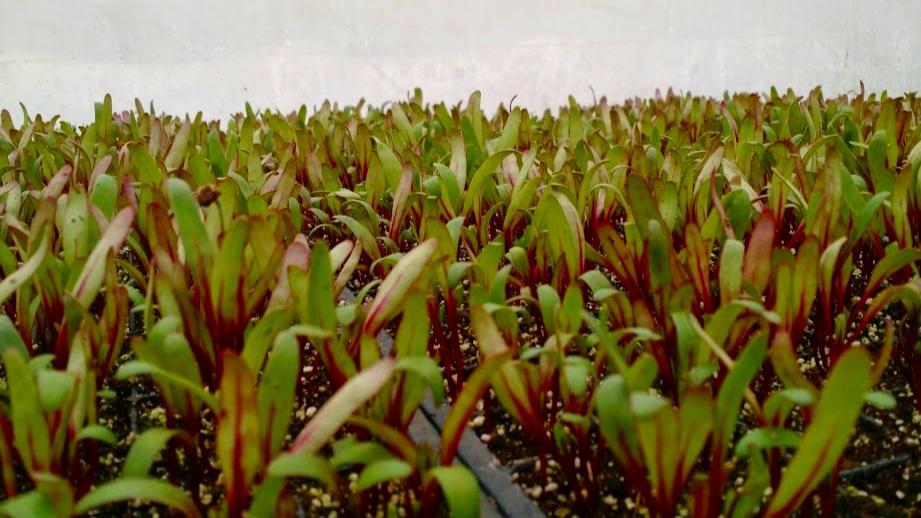 Tiny beets awaiting transplant.
