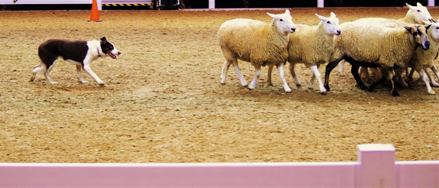 Pure Horse Sense Blog- Sheep herding demo @ the royal winter fair