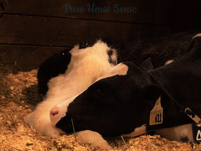 Pure Horse Sense Blog- Calf at the RAWF