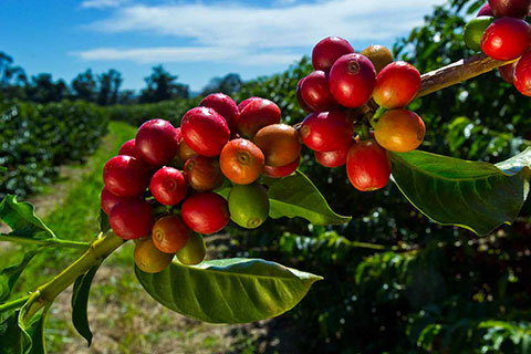 Konared® Hawaiian Coffee Fruit Extract