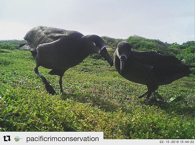 #Repost @pacificrimconservation with @get_repost ・・・ Albatross are flocking to Oahu, and its not just Laysan Albatross this year.  Some of you may remember over the past few months a couple of Black-footed Albatross were hanging around Kaena Point and we are happy to report they were see again yesterday by our staff!  Flying together, dancing together, we have our fingers crossed these two have decided to make Oahu their forever home.  Visit us at www.pacificrimconservation.org to learn more about our work to save seabirds and Hawaii DLNR (Department of Land and Natural Resources)! #KaenaBlackfootedAlbatross #OahuSeabirdColony #SeabirdSurveys #SeabirdConservation #RestoringBiodiversity #PacificRimConservation