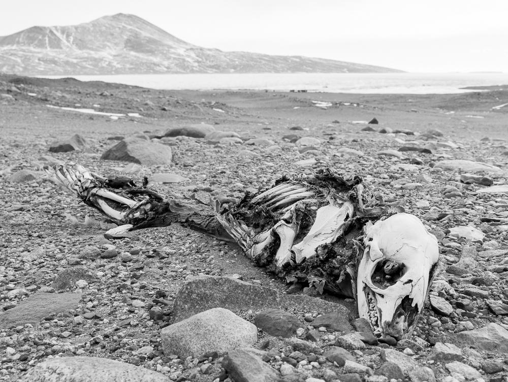 Seal carcass.