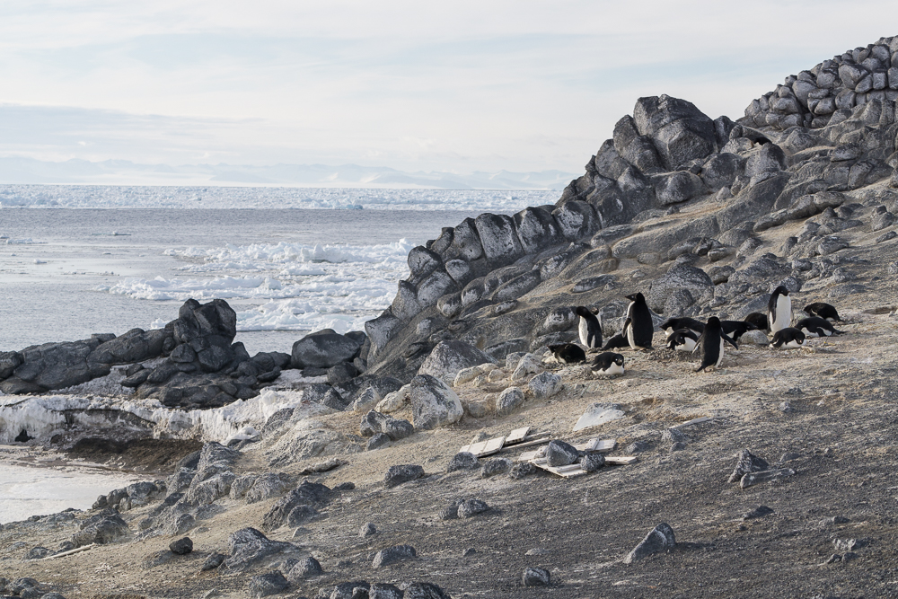 Adelie penguins, wood wreckage is from Shackletons hut, all of which is left in place and untouched.