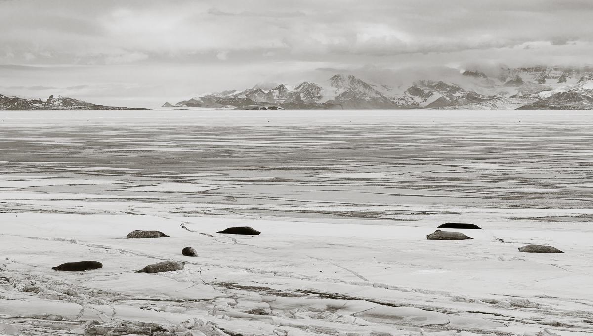Seals basking on the friggin frigid sea ice.
