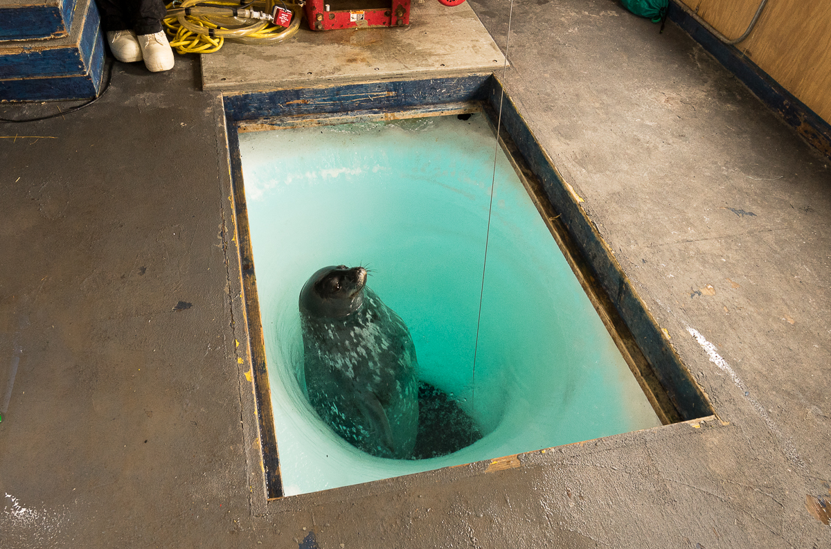 About every 15 minutes the seal return for air, and she really blows some air when she comes up.