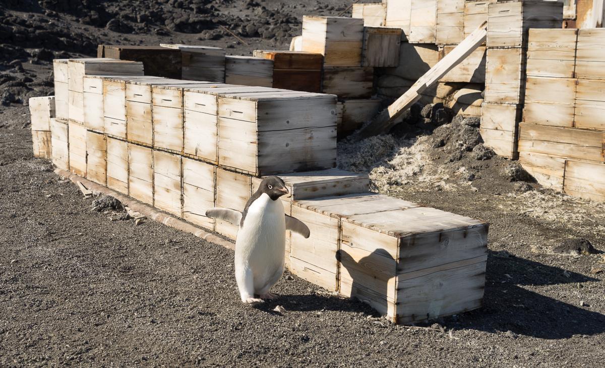 Adelie penguin sprinting past Shackleton's hut after walking from Backdoor Bay.