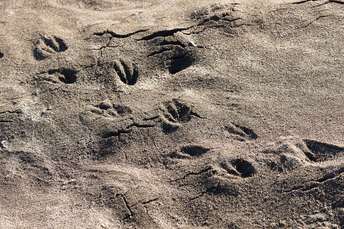 Adelie footprints at black sand beach. This same beach was used by Shackleton to exercise the pony's used for the south pole attempt.