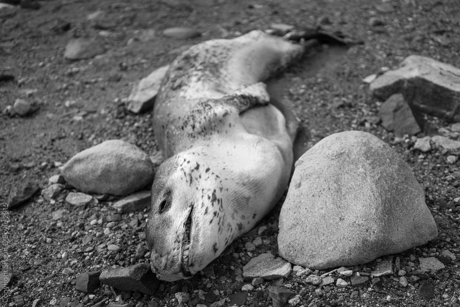 Desicated Leopard Seal near camp