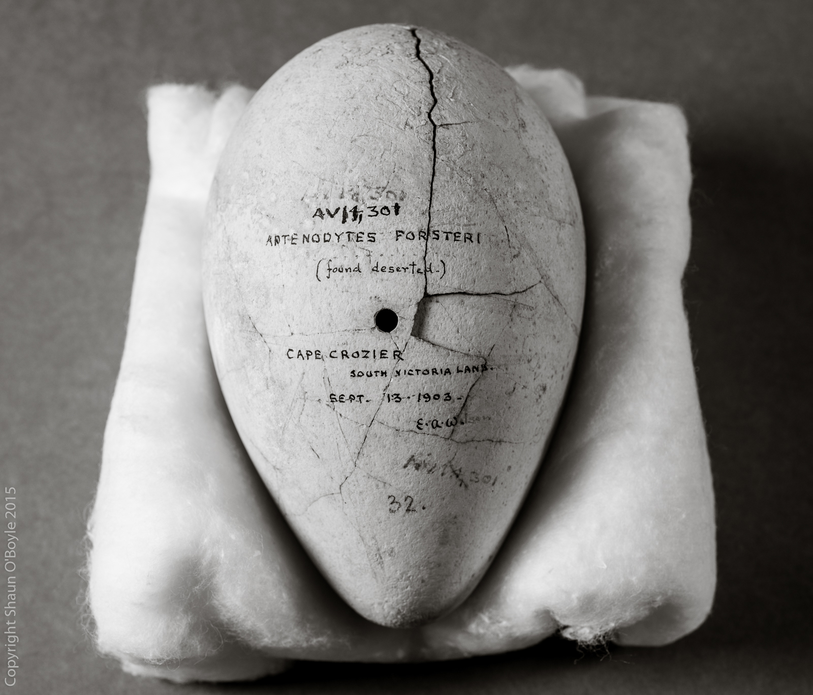 Emperor Penguin Egg collected by Edward Wilson