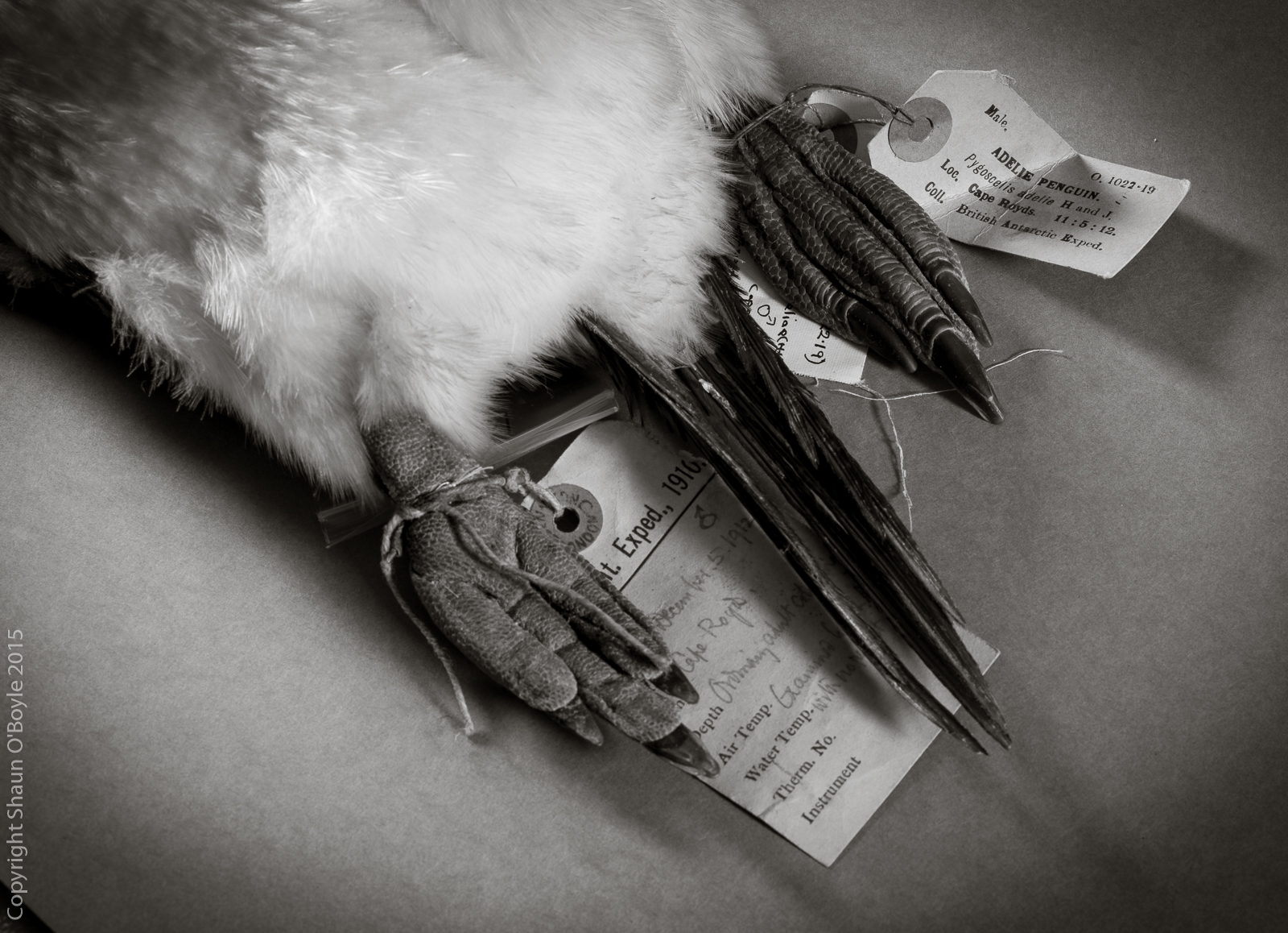 Unfortunate Adelie Penguin feet collected during the Terra Nova Expedition
