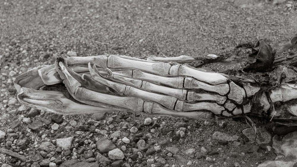 "Weddell Seal bone structure of ""foot"" flipper."