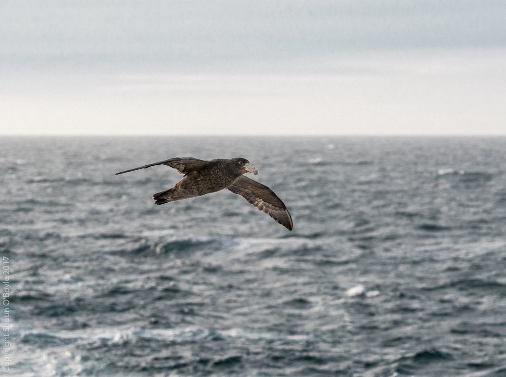 Southern Giant Petrel following the LMG