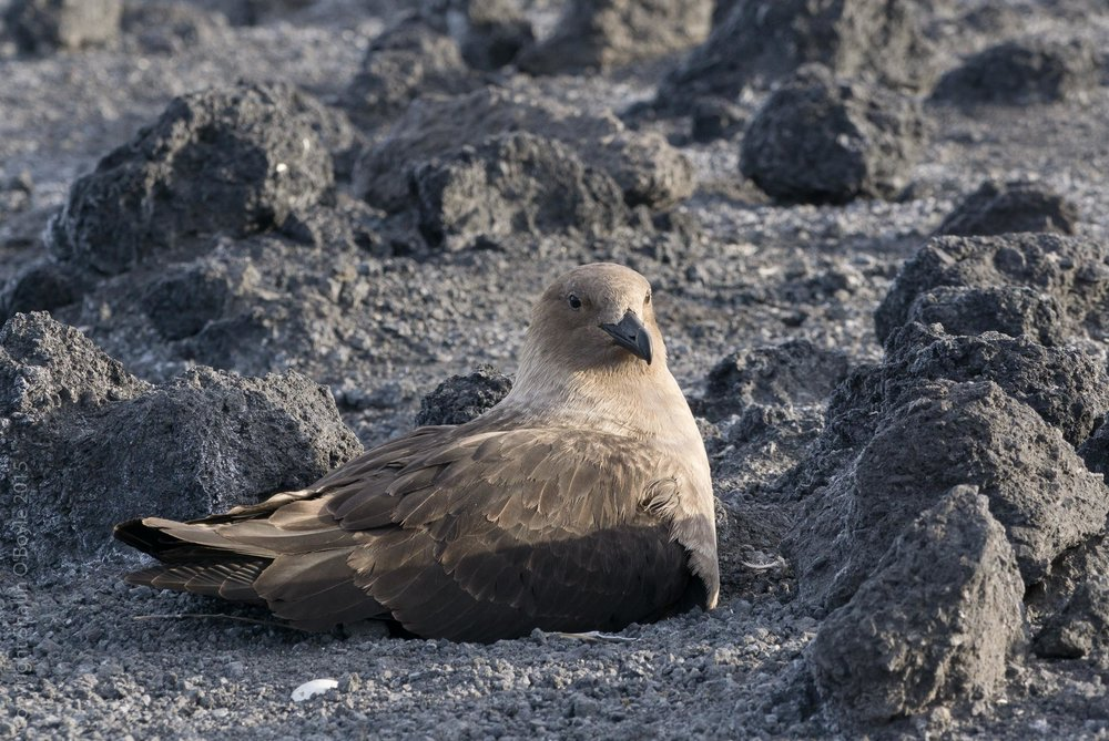 Skua, a bird that preys on the penguin colony