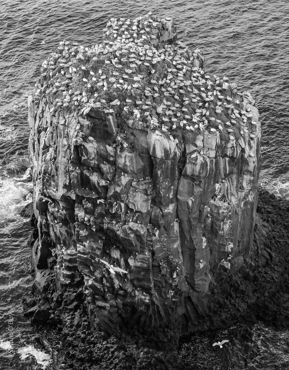Sea Stack with Northern Gannet Colony, Langanes Peninsula