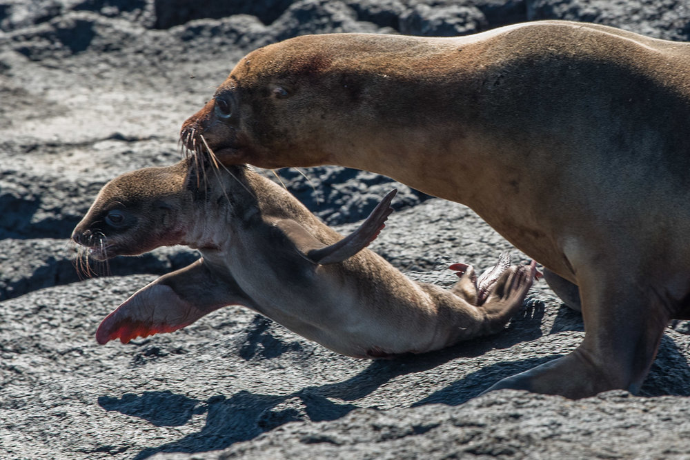 Galapagos --new born sea lion and mother