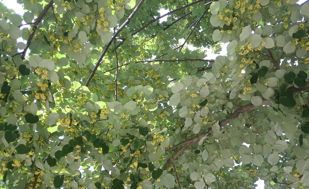 INTOXICATING CANOPY OF TIGLIO (TILIA CORDATA) IN FLOWER IN JULY
