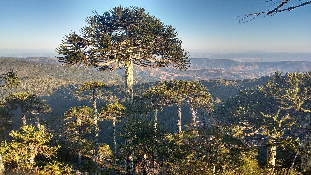 Araucarias_en_el_Parque_Nacional_Nahuelbuta.jpg